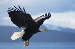 eaglesoaring_1.jpg