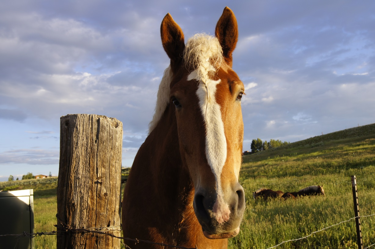 draft horse at fence.jpg