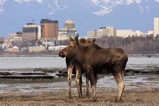 Moose in Anchorage AK
