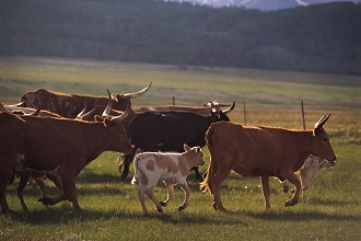 Spring Hill TN cattle