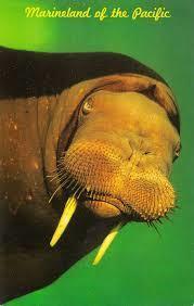 Marinelandwalrus.jpg